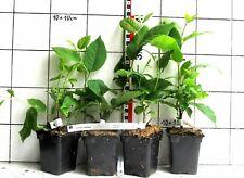 Halesia Carolina, neve campanello arbusto pianta ()