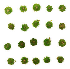 Pressed Flowers, Green Apricot Blossom 20pcs for floral art craft