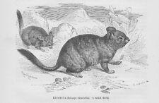 Chincilla Chinchillas Chinchillidae Holzstich von 1891