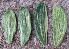 4 Variegated Opuntia Monacantha Cactus Cuttings - Unrooted - Very Easy to Root!