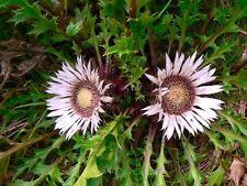 Carline ARGENTO Cardo - 80 semi-British Wild Flower Carlina perenne