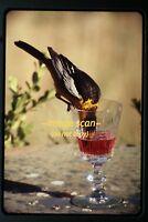 1960's Bird Drinking from Glass, Original Slide b29a