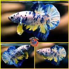 New listing Live Betta Fish Male Fancy Yellow Blue Marble Halfmoon Plakat #E664