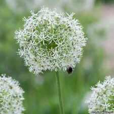 PRE-ORDER - Allium Mount Everest x 10 Large Bulbs White Star Shaped Flowers