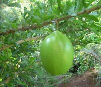 Der Kalebassen Baum: seltenes exotisches Saatgut - tolle Früchte.