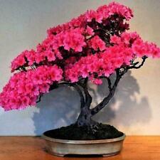 10Pcs Japanischen Kirschblüten Blumensamen Bonsai Seltene Baumpflanz M2M2 U7U5