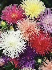 Aster Needle Nova Mix Flower Seeds Packet 1 Gram Mixed Colors 2019 Usa Fun Cute