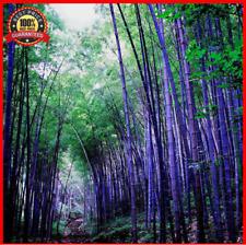 200++ Fresh Purple_Bamboo_Seeds - Timor Bambusa Lako - HARDY and HOT RARE !