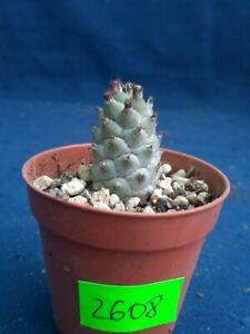 Tephrocactus 2608p