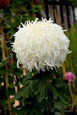 "Chrysanthemum ""Western classic"" x 1 plant. One of my favorites! Large Reflexed"
