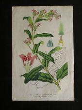 ancienne planche botanique Oxypetalum Solanoides lithographie milieu XIX ème