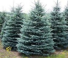Colorado blue spruce 50 seeds grown as ornamental and x-mas trees buy 2 get ?