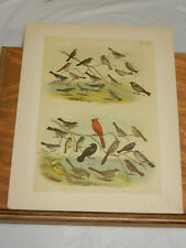 1878 Studer Color Bird Print/Towhee,Lark,Sparrow ,Finch,Siberian Finch,Blackbird
