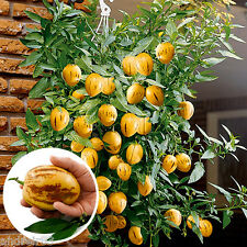 Seeds of Pepino Ramses Melon pear or sweet cucumber Exotic Пепино 5 seeds