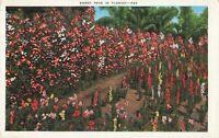 Postcard Sweet Peas Florida