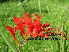 Crocosmia Lucifer , 50 semillas seeds graines samen semi