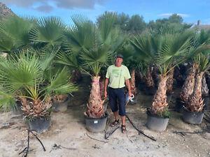 Washingtonia robusta, Petticoat- Palme,, Stammhöhe ca 100cm Gesamthöhe ca 250 cm