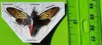 Popular Red Devil Cicada Huechys incarnata Spread FAST FROM USA