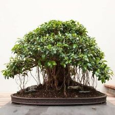 FICUS OBLIQUA - SMALL LEAVED FIG, 10 SEMI