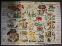 Schlitzberger Große lithografische Pilztafel um 1890 Mykologie Natur giftige sf