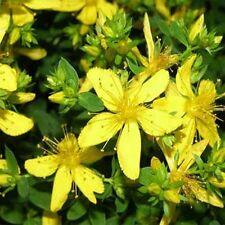 St. John's Wort (Hypericum Perforatum) - 250 seeds