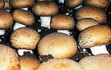 30 G !  Royal Agaricus Bisporus Portobello champignon Spores fungus Mycelium
