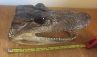 """Authentic 6.5"""" Alligator Head Taxidermy Gator Skull 6 to 7 inches"""