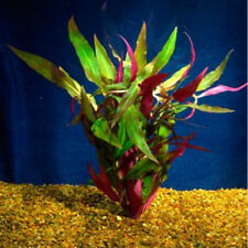 Bunched Scarlet Temple Live Aquarium Plants ( Alternanthera reineckii)