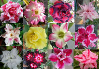 50pcs Rare Adenium Mixed 9 Types of Desert Rose Flowers Seeds Bonsai Home Garden