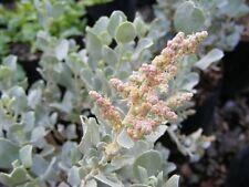OLD MAN SALTBUSH 'de Koch' Fodder Cultivar Seed Drought & Frost & Salt Tolerant