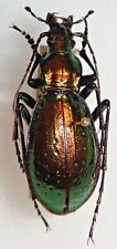 Carabidae Chrysotribax rutilans jeannei Spain #W93 Carabid Beetle Carabus