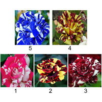 50Pcs Dragon Rose Bush Seeds Home Garden Planting Beautiful Stripe Plant Seller