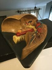antique anatomical model of chest cavity