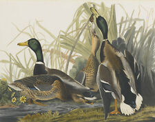 Audubon James John Mallard Duck Canvas 16 x 20  #5684
