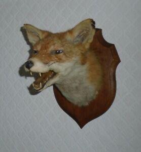 ANTIQUE VINTAGE TAXIDERMY SNARLING FOX HEAD MOUNTED ON OAK SHIELD by DEYROLLE