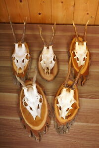 5 x Rehgehörne auf Naturholzbretter  Roe Deer Trophies