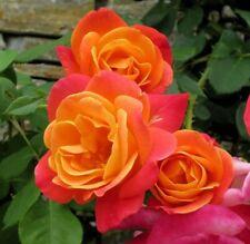 "Coat Climbing Rose Biblical Joseph's Garden Very Hardy - 4"" Pot Outdoor"