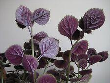 2 Purple swedish ivy  plectranthus LIVE PLANTS Passion Plant SMALL STARTERS !!