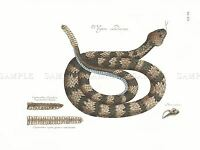 PAINTING ANTIQUE NATURE SERPENT CATESBY TIMBER RATTLESNAKE ART PRINT LAH504A