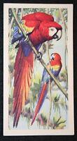 SCARLET MACAW   Original Vintage Colour Card   Unmounted