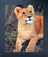 Lion Cub Big Cat Wild Animal Wall Decor Framed Art Print Picture