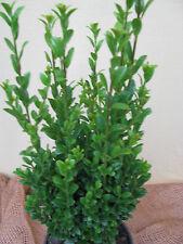 Säulenilex Ilex grenata Fastigata 30cm-40cm immergrüne Säule