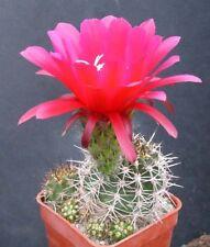Red torch cactus 5 seeds Lobivia grandiflora var. minuta Hard 18° F easy to grow