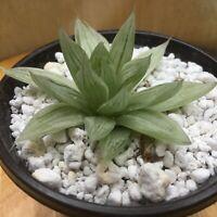 "Unusual varietated haworthia. Lime green/white stripes. 3"" Pot FREE SHIPPING"