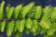 Dawn Redwood (Metasequoia glyptostroboides) 50 seeds