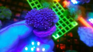 Blue torch coral marine frag