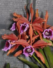Laelia Tenebrosa 'selva' especies planta de orquídea grandes
