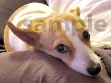 Lazy Pet Dog Jack Russell Digital Picture Photo Image JPEG Wallpaper Design