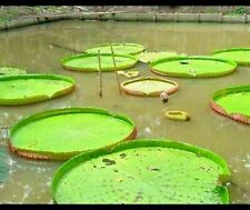 Victoria Amazonica 10 Seeds Giant Water Lily Lotus water Plant PHYTO CERTIFICATE