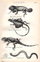 1880 Stampa ~ Naturale Storia ~Lucertole~ Agama a Strisce Drago Stellion